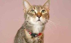画像2: クラウンチェック カラー (S、Mサイズ)猫用首輪 Cat Amo.k