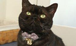 画像2: 福まねき猫 カラー (S、Mサイズ)猫用首輪 Cat Amo.k