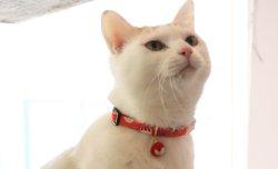 画像2: 紙風船カラー (S、Mサイズ)猫用首輪 Cat Amo.k